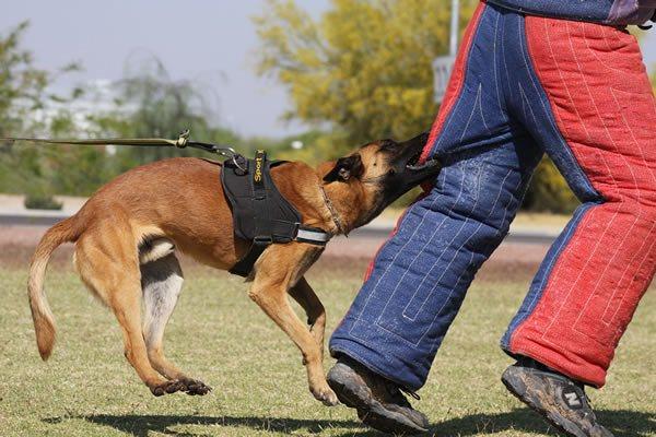 Bringing a guard dog